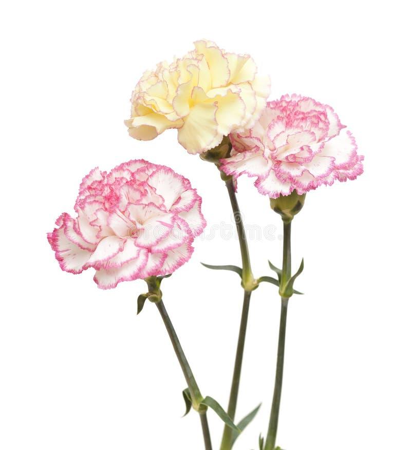 Довольно розовая и желтая изолированная гвоздика стоковая фотография