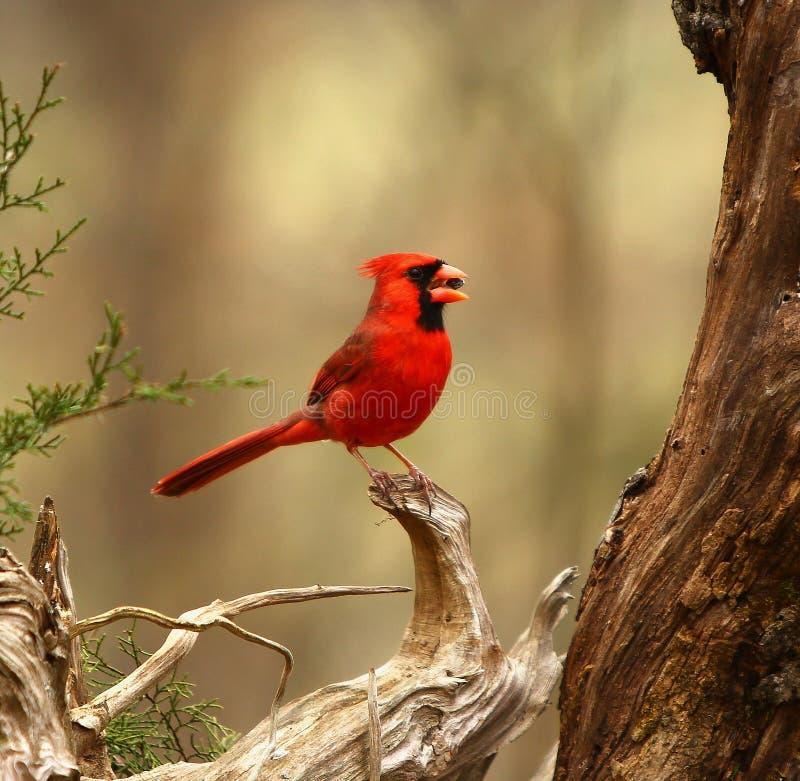 Довольно красная птица садить на насест на ветви стоковая фотография