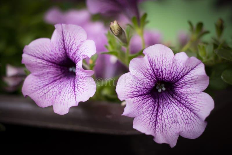 Довольно фиолетовые петуньи стоковое изображение rf
