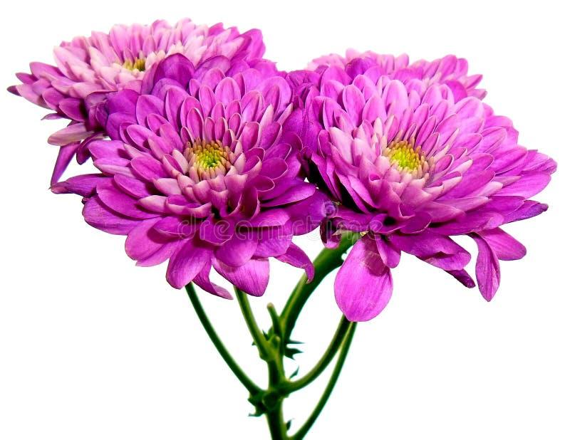 Довольно фиолетовый георгин стоковое фото rf