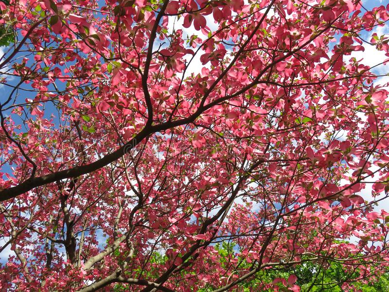 Догвудские цветы и облака стоковая фотография rf