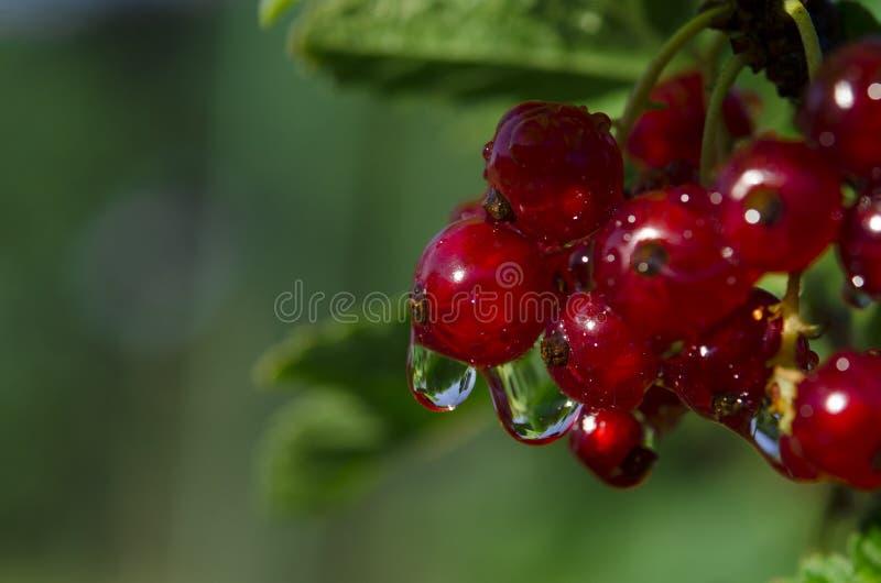 Дождевые капли на пуках ягод красной смородины которые растут на зеленом кусте в саде стоковая фотография rf