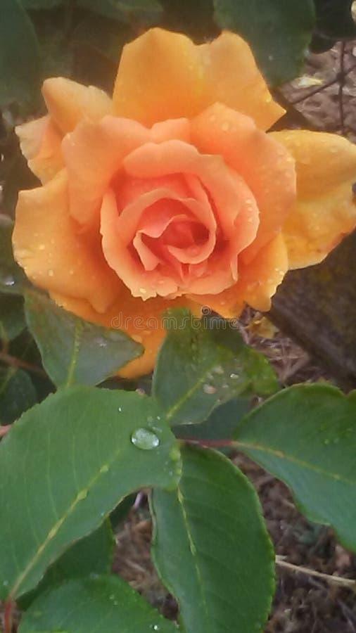Дождливая роза стоковые фото
