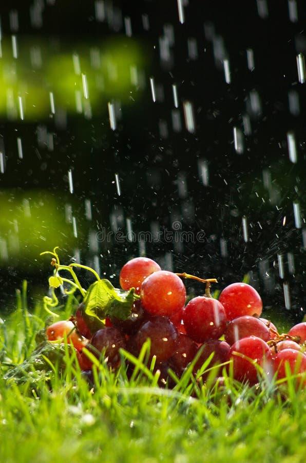 дождь виноградин стоковые изображения rf