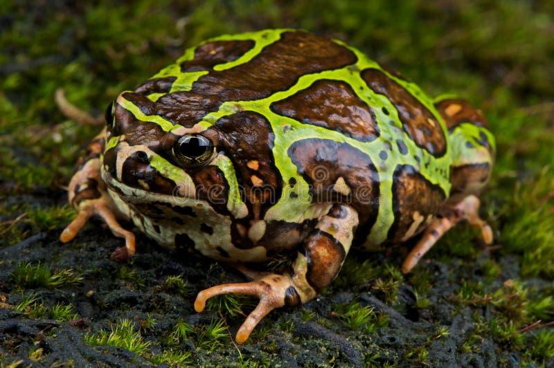 дождь Мадагаскара лягушки стоковые изображения rf
