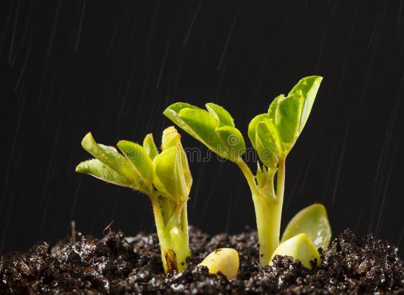 Дождь и новые ростки завода стоковые изображения rf