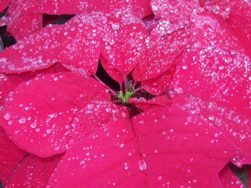 Дождь расцеловал Poinsetta стоковые фото