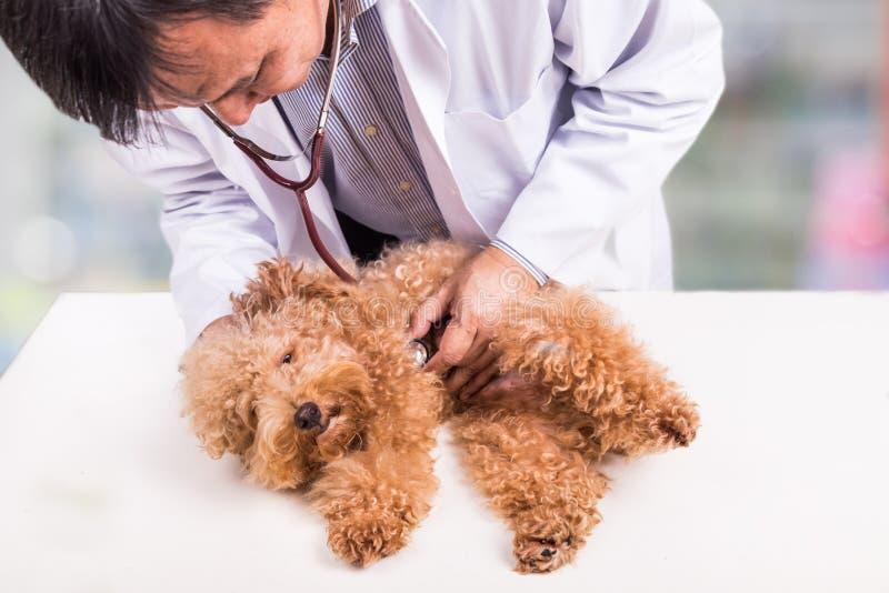 Доктор ветеринара рассматривая милую собаку пуделя с стетоскопом на клинике стоковое фото