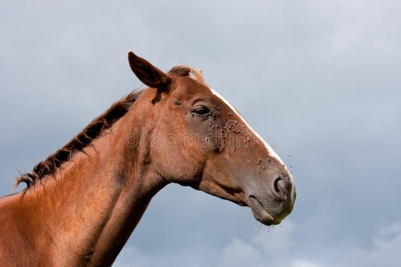 докучанное небо лошади мух каштана бурное стоковые изображения rf
