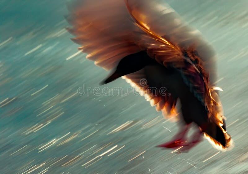 Долгая выдержка снятая утки в выравнивать свет стоковые изображения rf