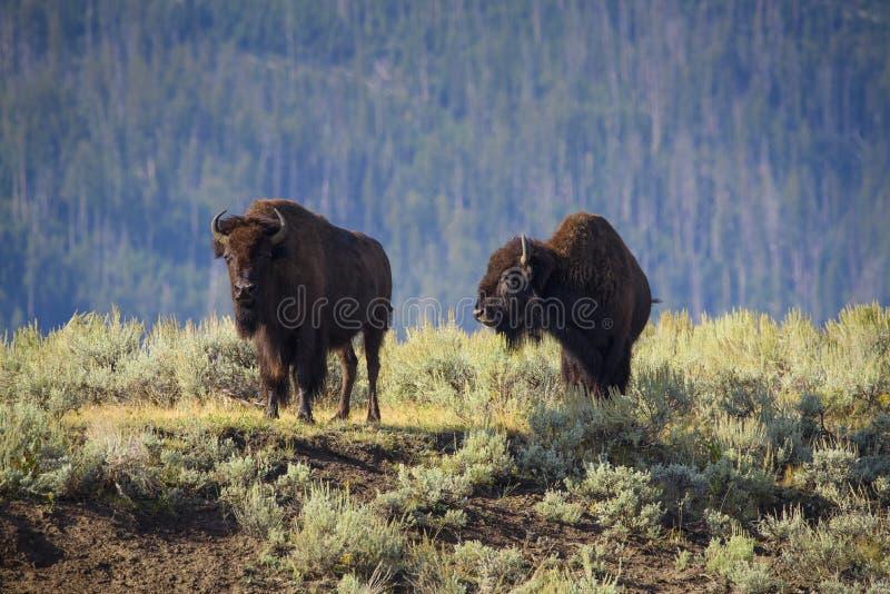 долина зубробизона lamar стоковое фото rf