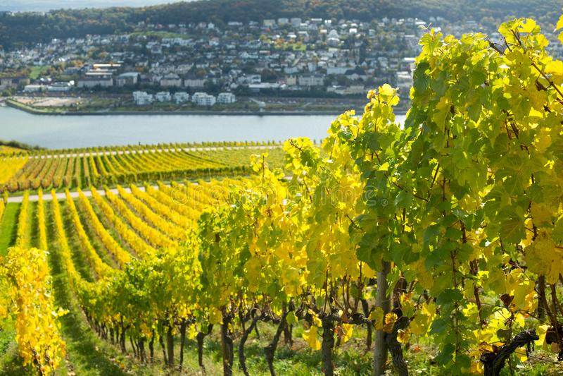 Долина Рейна с виноградниками стоковое фото rf