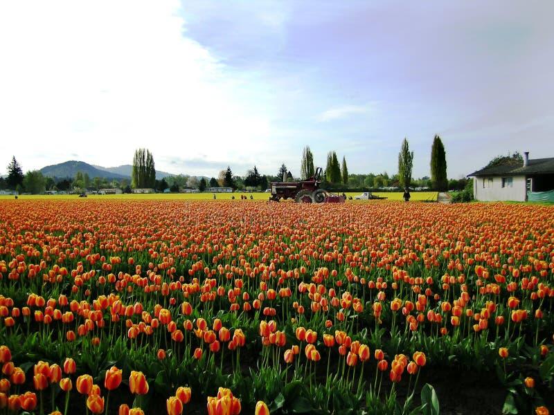 долина тюльпана skagit празднества стоковые изображения rf