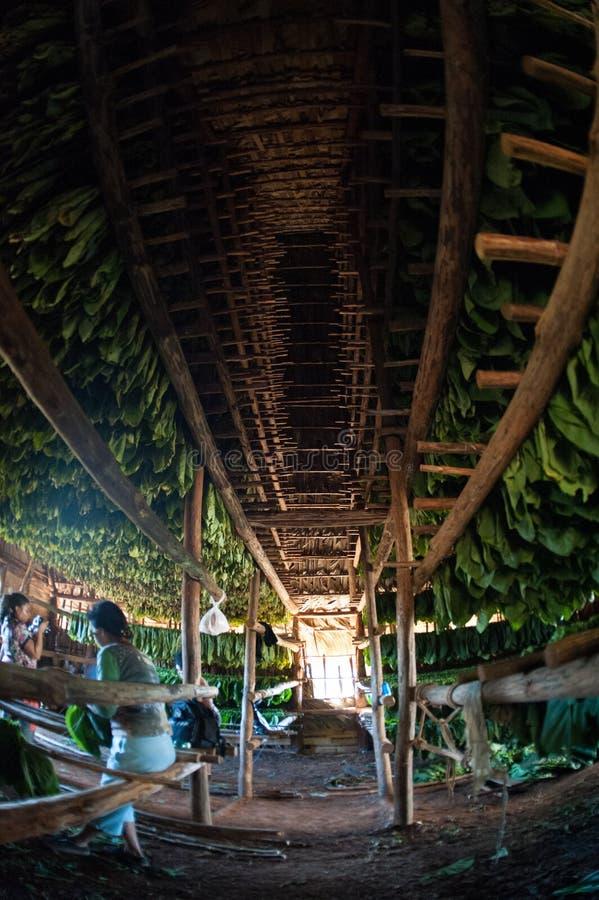 Долина Vinales, установка солнца Кубы на табаке засыхания стоковое фото rf