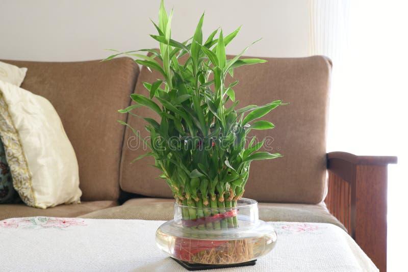 Домашняя бамбуковая водоросль, зеленый цвет выходит бамбуковый завод в живущую комнату стоковое изображение rf