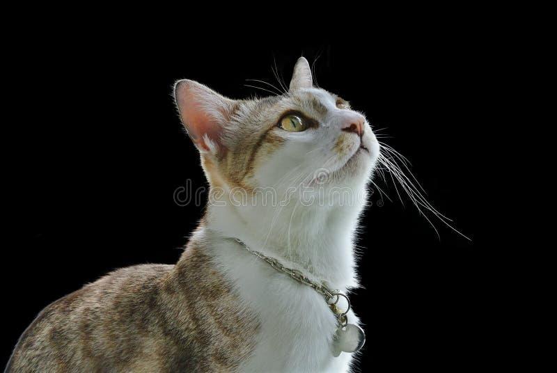 Домашняя кошка конца-вверх любопытно выглядя верхним изолированным на черной предпосылке стоковое изображение rf