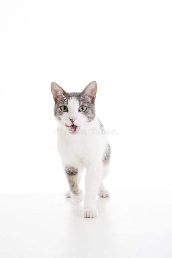 Домашняя кошка на белой предпосылке Кот идя и лижа рот для хотеть еду стоковые изображения