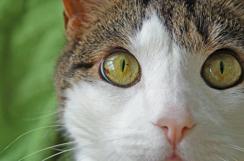 Домашняя кошка с большой яркой глазами покрашенными лещиной, мягким розовыми носом и стороной и вискерами белизны смотря в камеру стоковое фото rf