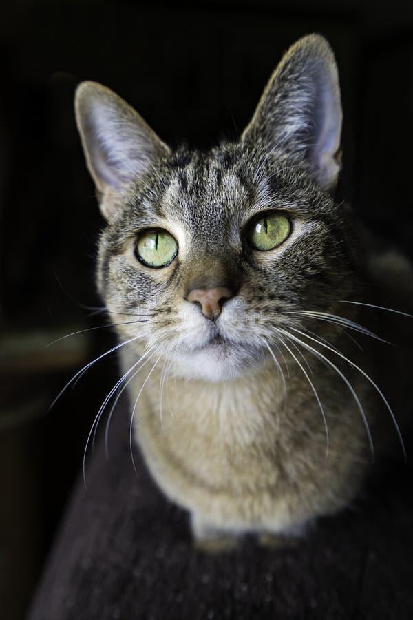 Домашняя кошка с зелеными глазами стоковые фотографии rf
