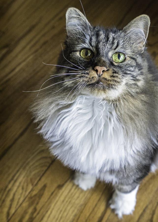 Домашняя кошка умоляя для внимания стоковое фото