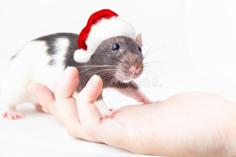 Домашняя крыса в санта-шляпе стоит на руке мужчины стоковое фото
