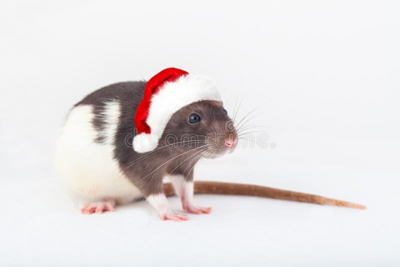 Домашняя крыса в шляпе санта стоковое изображение