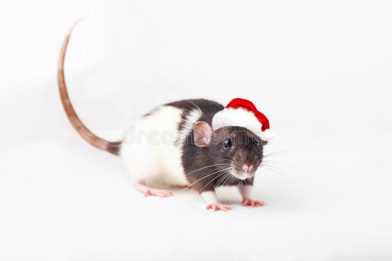 Домашняя крыса в шляпе санта стоковые фотографии rf