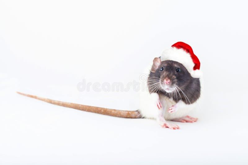 Домашняя крыса в шляпе санта стоковое фото