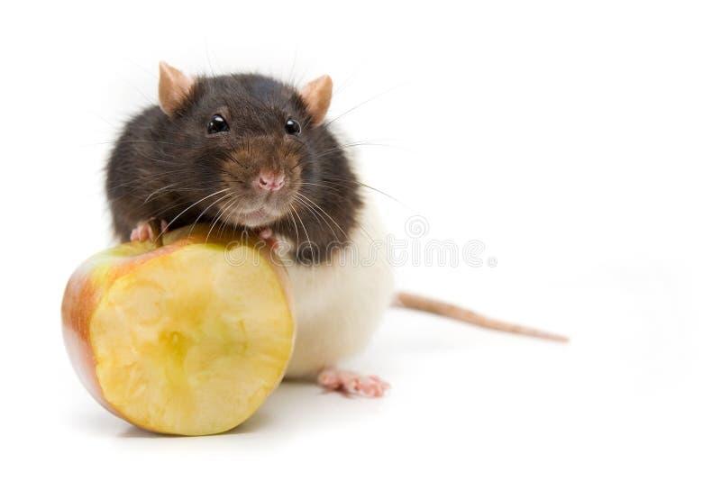домашняя крыса стоковое фото rf