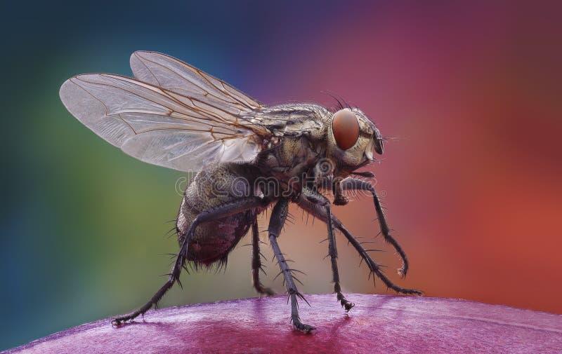 Домашняя муха на яблоке стоковая фотография