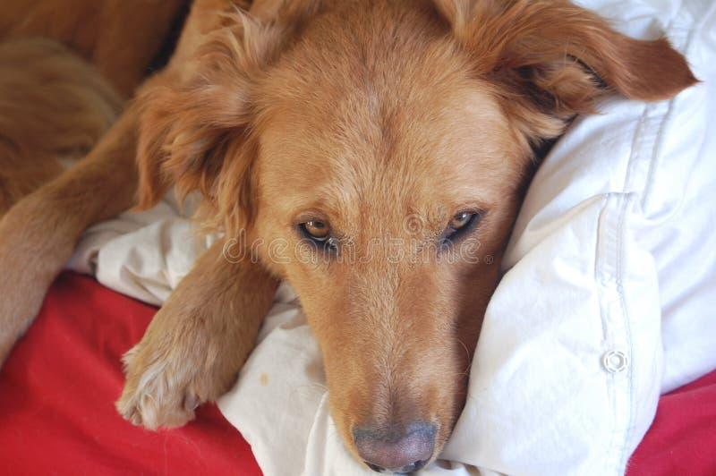 Домашняя собака im крытое стоковая фотография rf