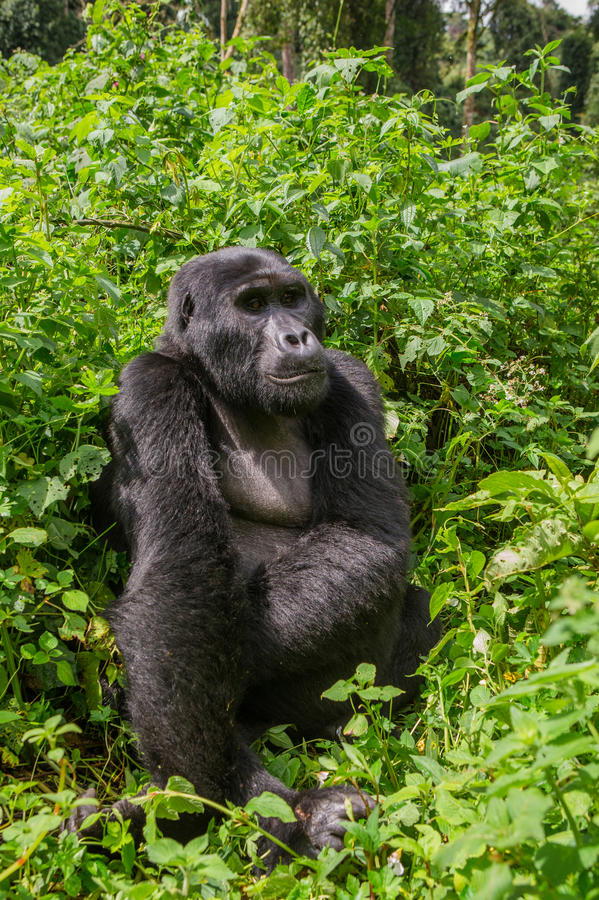 Доминантная мужская горилла горы в траве Уганда Национальный парк леса Bwindi труднопроходимый стоковое изображение
