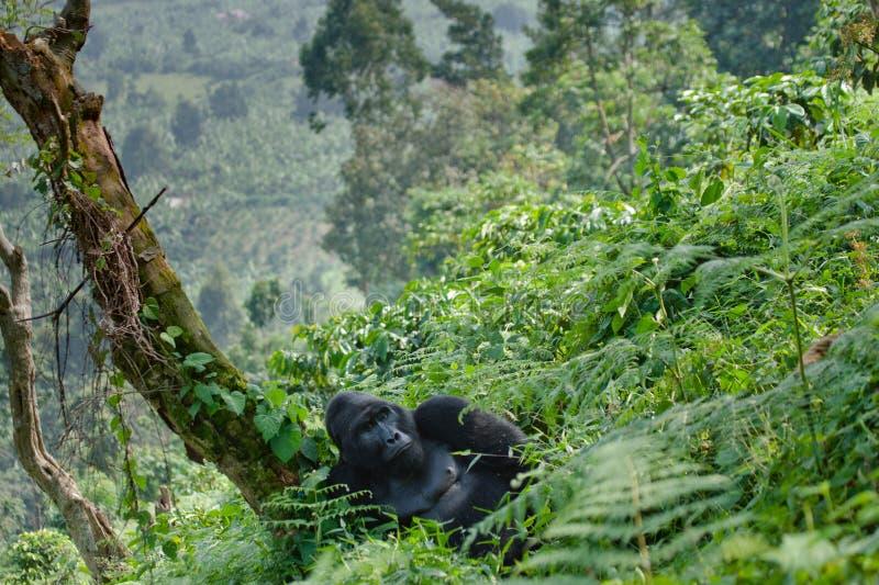Доминантная мужская горилла горы в траве Уганда Национальный парк леса Bwindi труднопроходимый стоковые фотографии rf