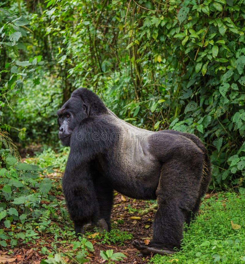 Доминантная мужская горилла горы в тропическом лесе Уганде Национальный парк леса Bwindi труднопроходимый стоковые фотографии rf
