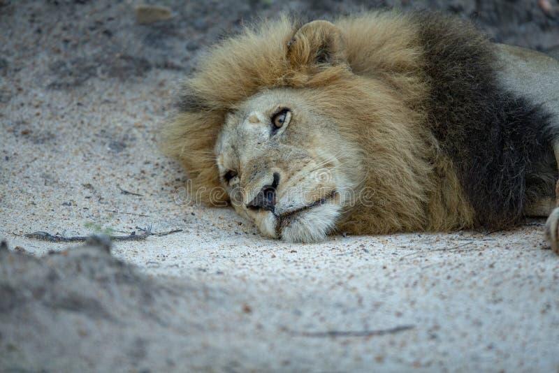 Доминантный мужской лев отдыхая его голова стоковое изображение rf