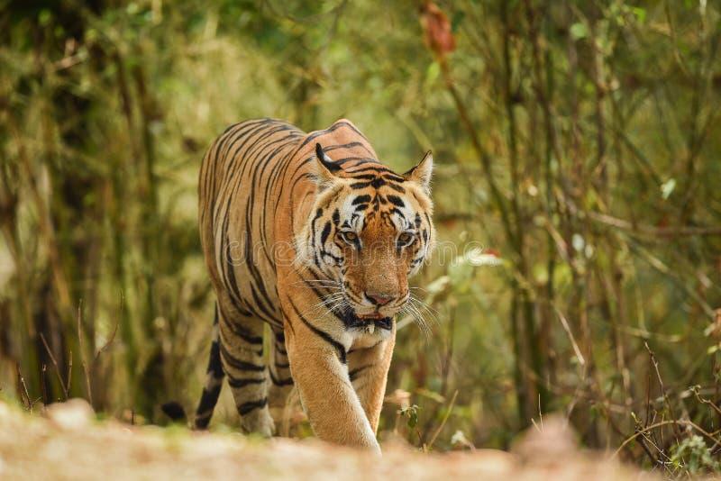 Доминантный мужской тигр на прогулке утра в зеленой предпосылке на национальном парке kanha, Индии стоковое изображение