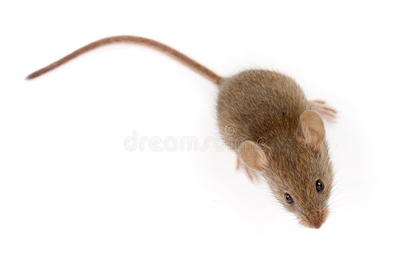 Домовая мышь смотря вверх (musculus Mus) стоковые изображения rf