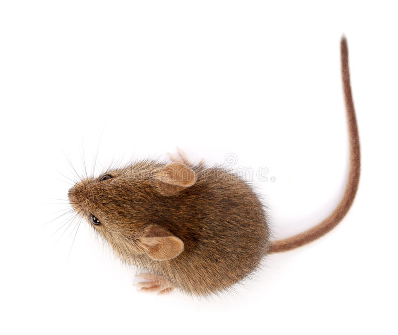 Домовая мышь смотря вверх (musculus Mus) стоковые изображения