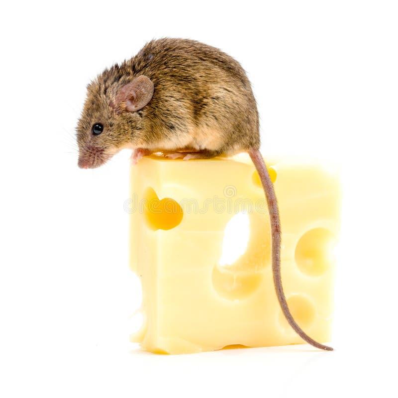 Домовая мышь (musculus Mus) на большом сыре стоковая фотография rf