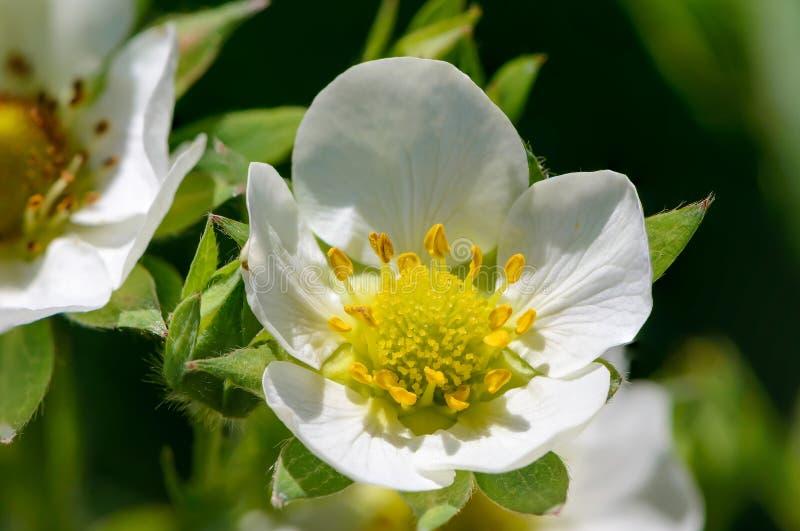 Домодельные цветения клубники в больших цветках весной стоковое изображение