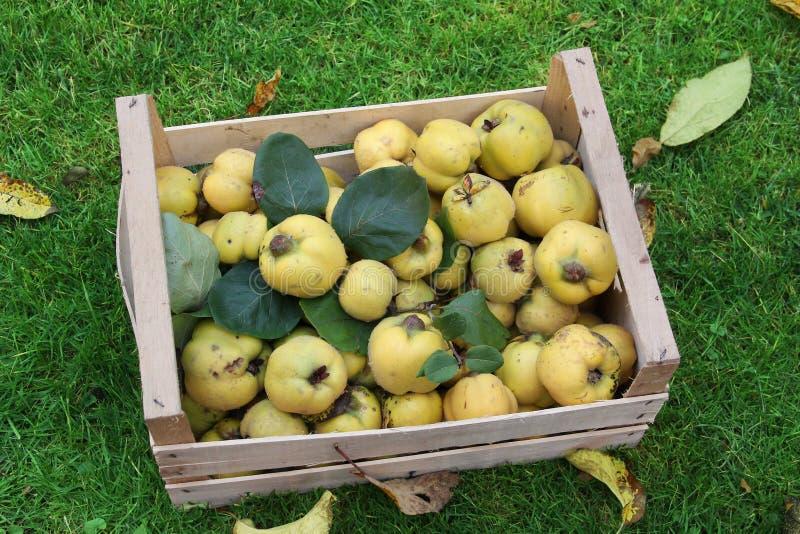 Доморощенные айвы яблока в клети стоковое фото