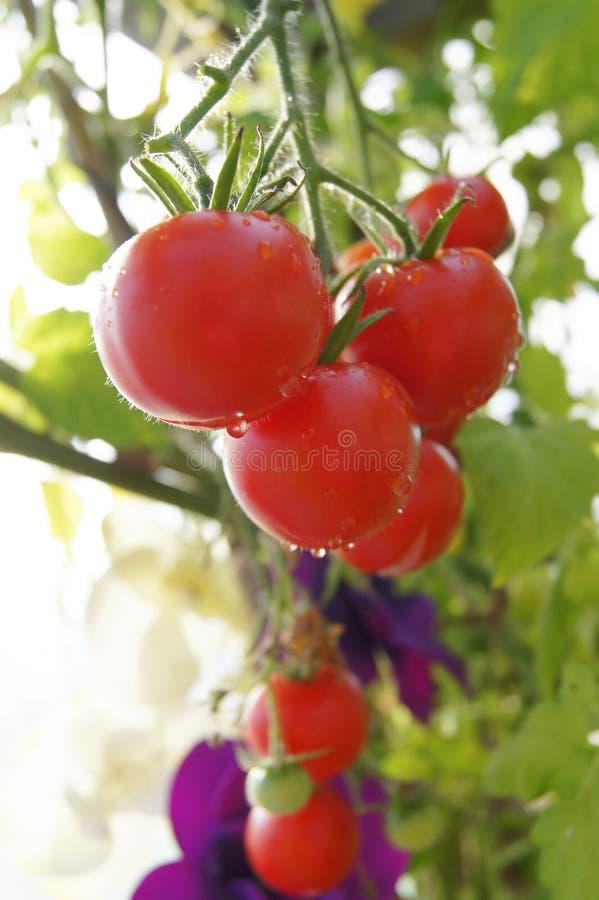 Доморощенные томаты в парнике стоковые изображения