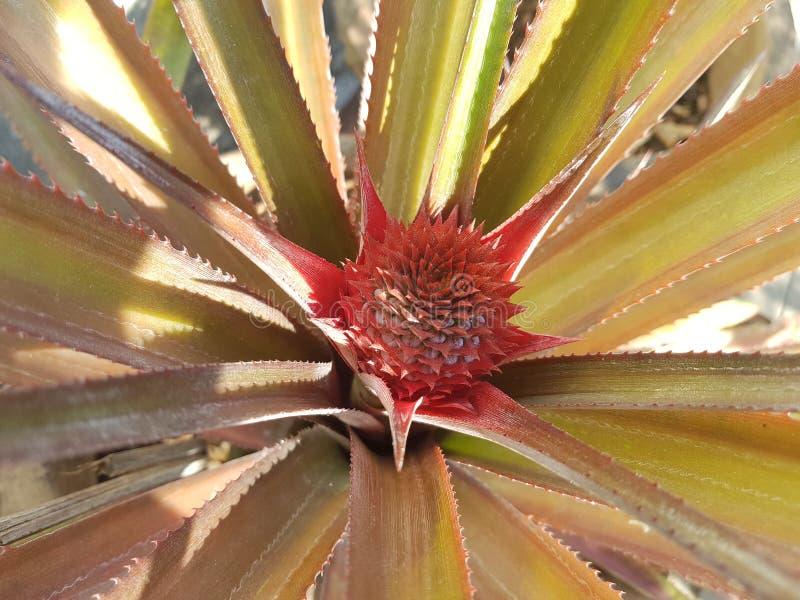 Доморощенный ананас стоковая фотография