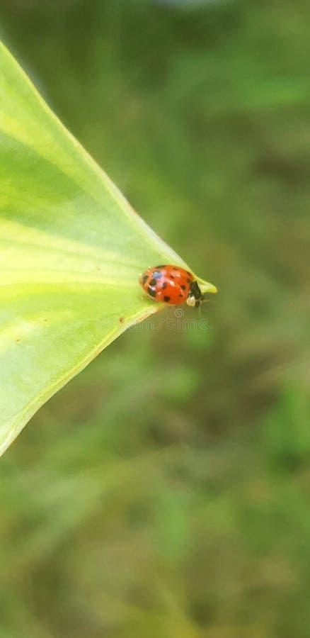 Дополнительный конец вверх по ladybug выходит просигналенная природа красоты жука стоковые изображения