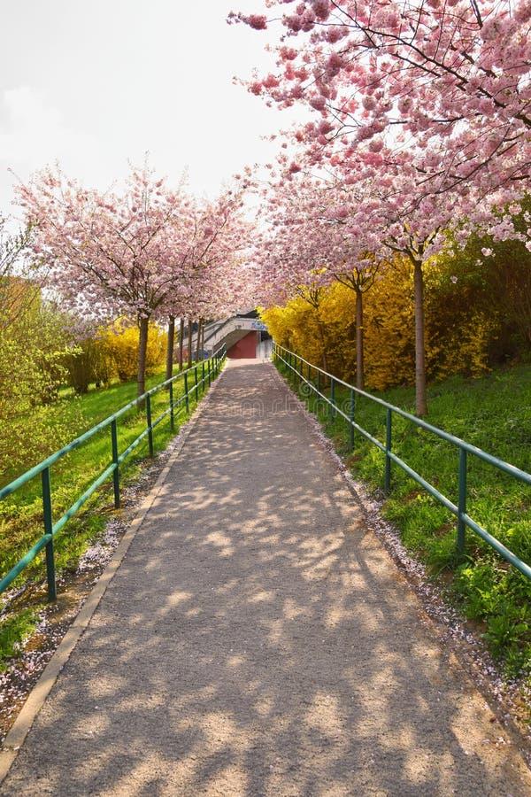 Дорога весны с зацветая деревьями в заходе солнца стоковое изображение