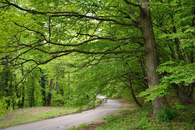 Дорога в зеленом лесе стоковые изображения rf