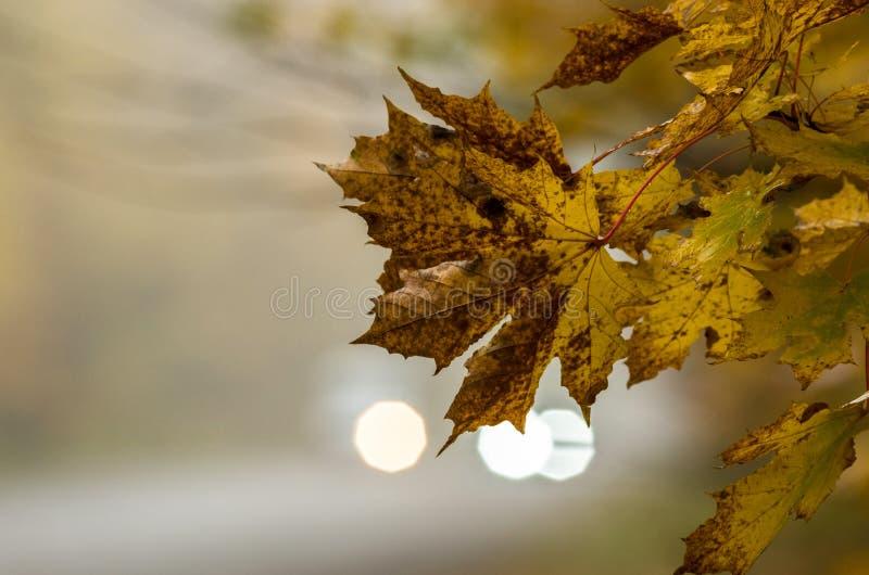 Дорога в кленовых листах желтого цвета леса осени против предпосылки расплывчатых фар автомобиля стоковое изображение