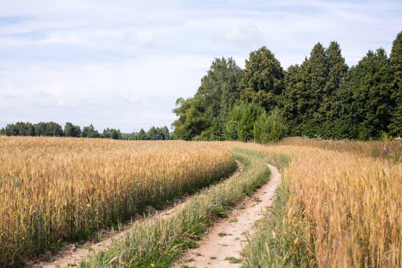 Дорога в пшеничном поле стоковые изображения