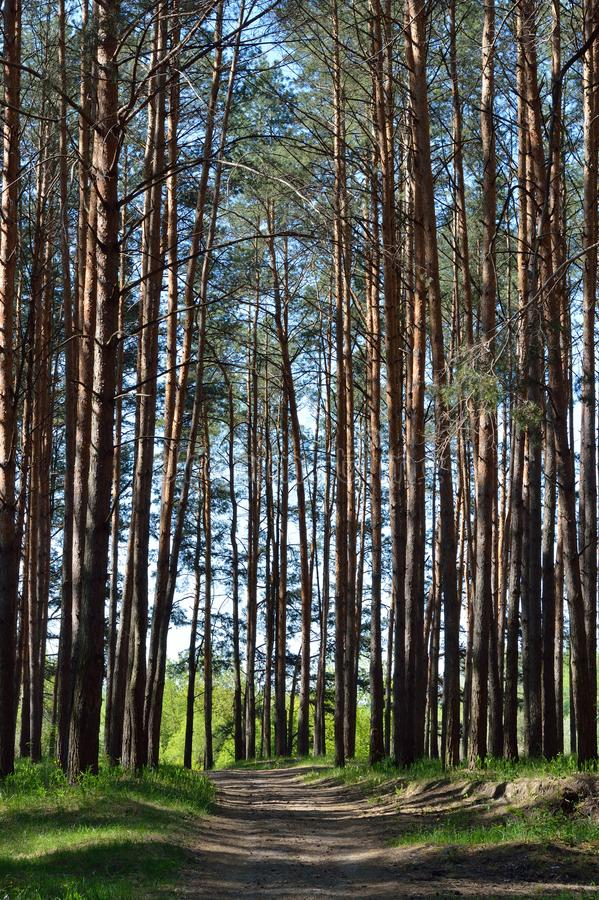 Дорога в сосновом лесе Bryansk стоковое фото