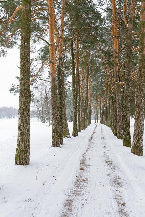 Дорога зимы в соснах Беларусь стоковая фотография